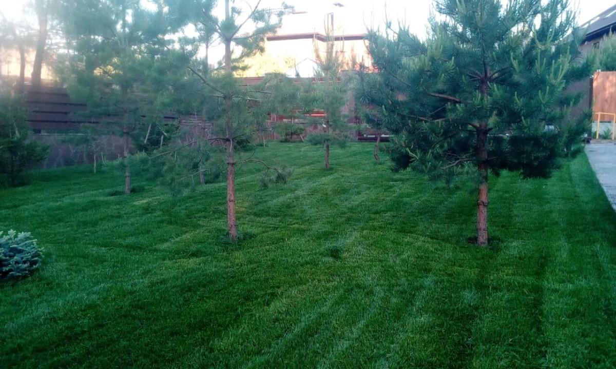 Рулонный газон через месяц после укладки (2)