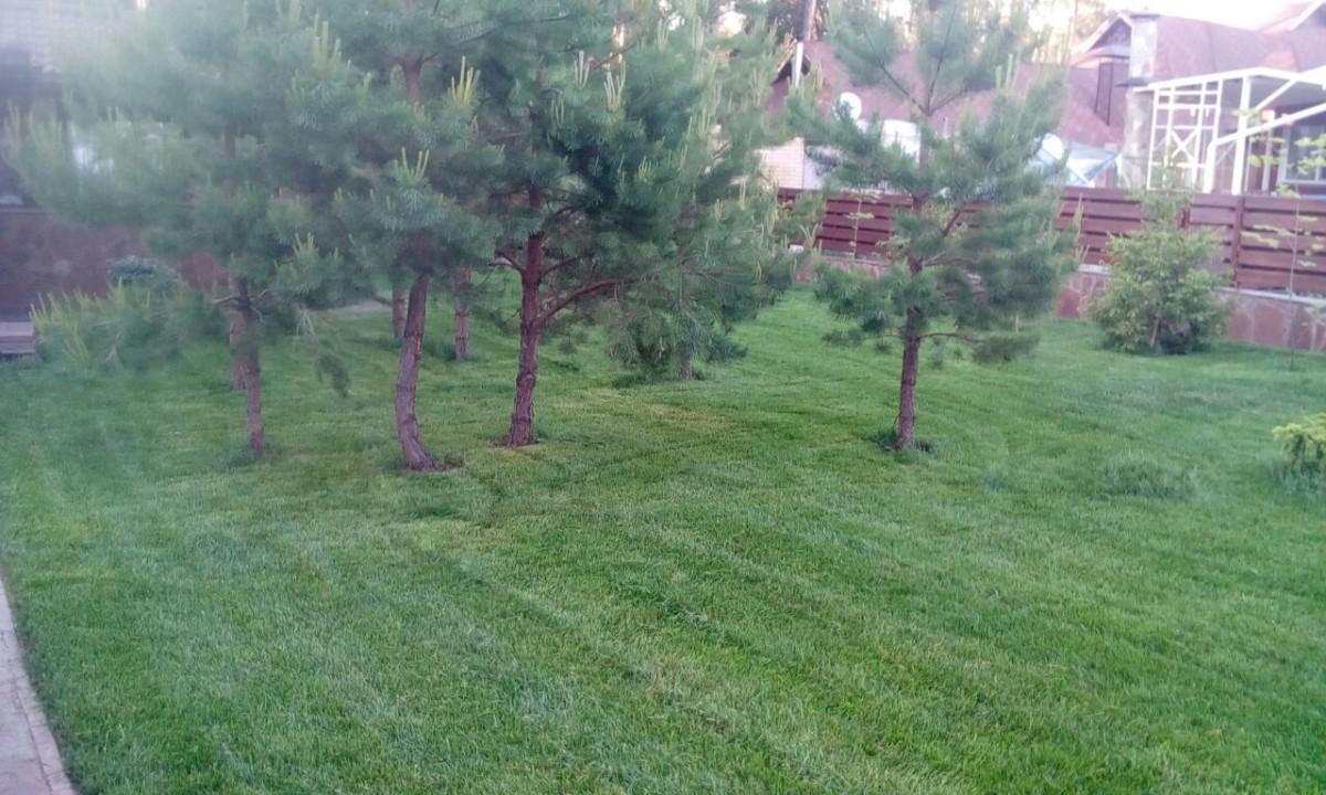 Рулонный газон через месяц после укладки