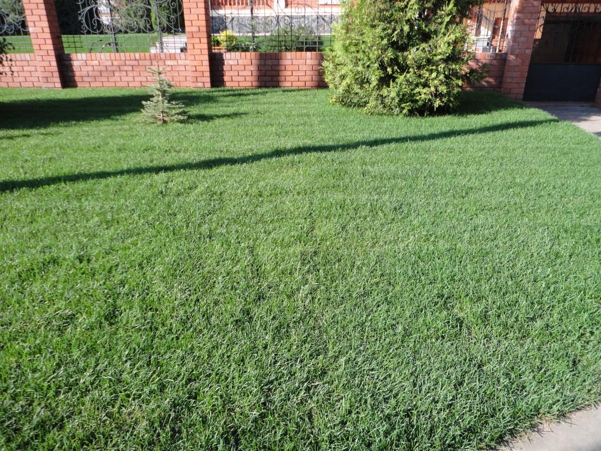 Рулонный газон через 2 недели после укладки (2)