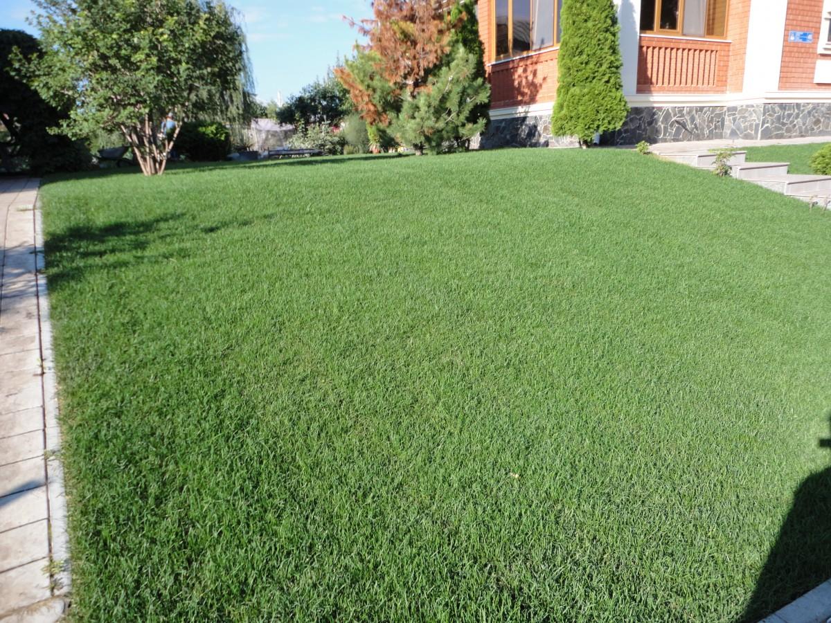 Рулонный газон через 2 недели после укладки (4)