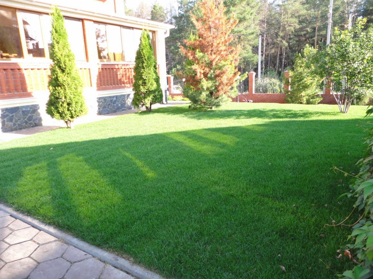 Рулонный газон через 2 недели после укладки (9)
