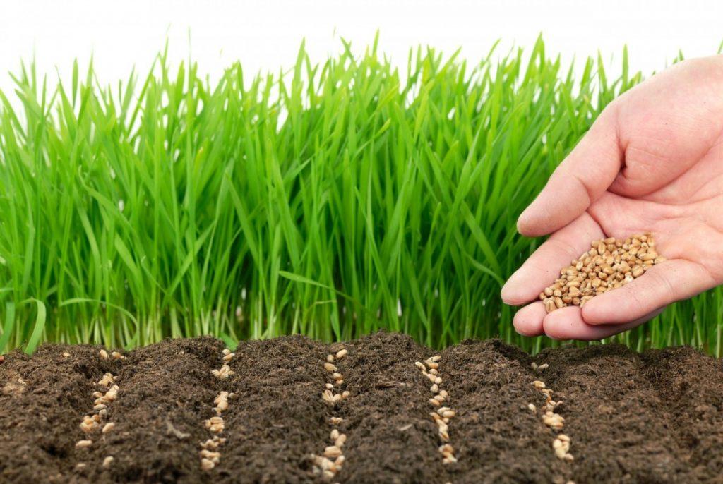 семена травы газонной низкорослой