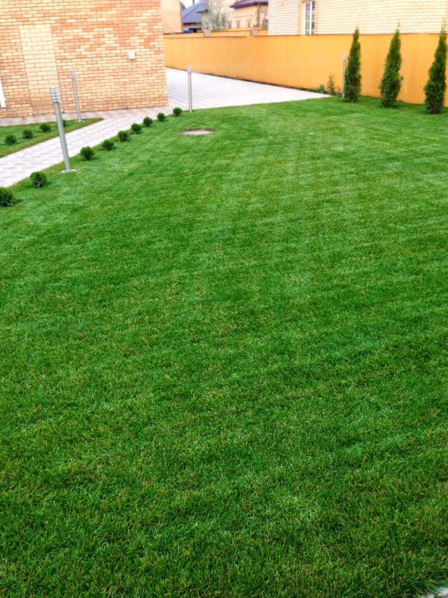 Рулонный газон через месяц (2)