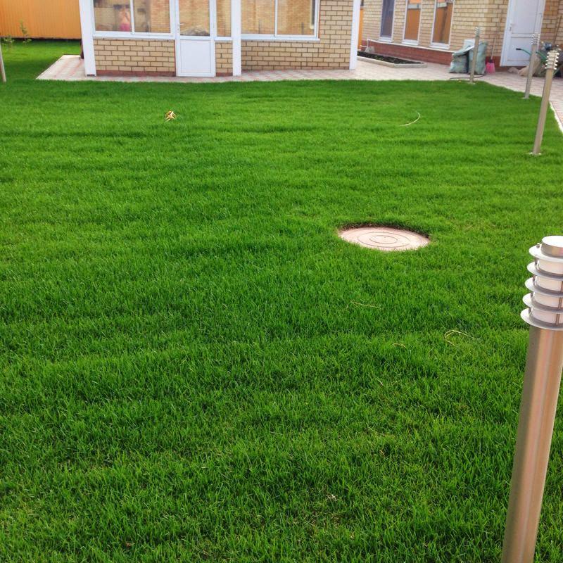 Рулонный газон через месяц (3)